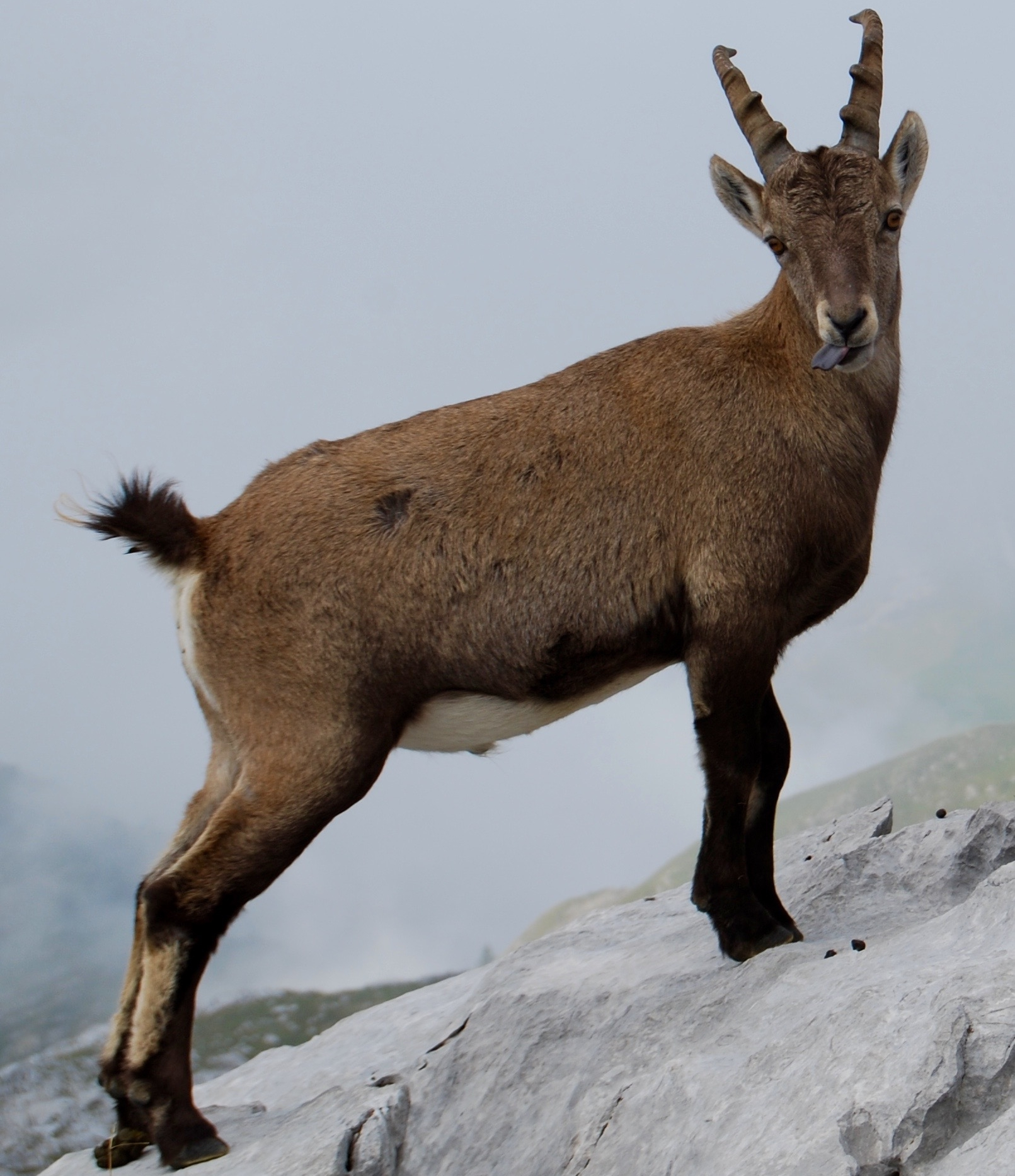 bouquetin-tire-langue-jeune-faune-montagne-pointe-percée-gramusset