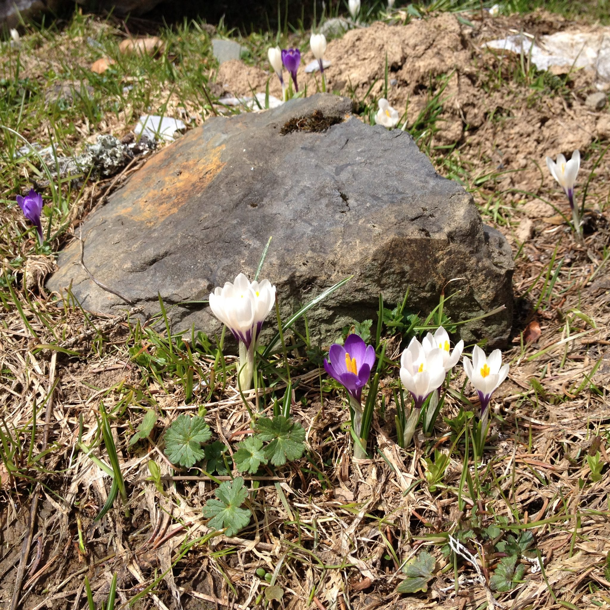 printemps-crocus-la-clusaz-balme-pistes-fonte-neige